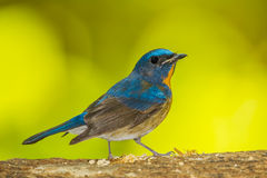 Chinese Blue Flycatcher Royalty Free Stock Photography