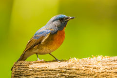 Chinese Blue Flycatcher Stock Photo
