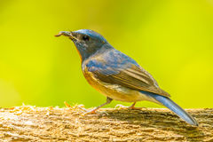Chinese Blue Flycatcher Stock Photography