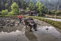 Chinese boer die een gebied ploegen, die de macht van buffels gebruiken Royalty-vrije Stock Foto