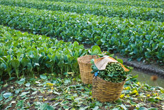 Chinese boerenkoolgroente Royalty-vrije Stock Foto