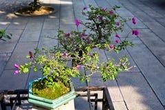 Chinese bonsai Royalty Free Stock Photography
