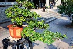 Chinese bonsai Stock Image