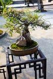 Chinese bonsai Royalty Free Stock Photo