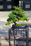 Chinese bonsai Royalty Free Stock Images
