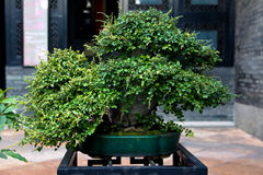 Chinese bonsai Stock Photos