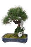 Chinese bonsai tree Stock Photo