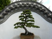 Chinese bonsai tree Royalty Free Stock Photography