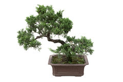 Chinese bonsai tree Royalty Free Stock Photo