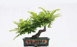 The Chinese bonsai tree Royalty Free Stock Photography