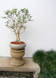 Chinese bonsai tree potted. An image of a classical chinese style bonsai tree plant in an elegant ceramic pot of soft dove gray colour. Specimen is placed on a stock images