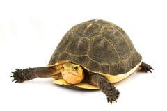 Chinese Box Turtle. (Cuora flavomarginata) on white background Royalty Free Stock Image