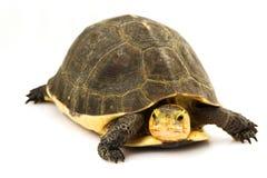 Chinese Box Turtle. (Cuora flavomarginata) on white background Royalty Free Stock Photos