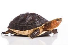 Chinese box turtle. (Cuora flavomarginata Royalty Free Stock Image