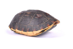 Chinese box turtle, Cuora flavomarginata. Flavomarginata, is a critically endangered turtle species Royalty Free Stock Photography