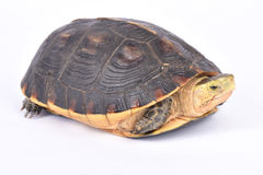 Chinese box turtle, Cuora flavomarginata. The Chinese box turtle, Cuora flavomarginata flavomarginata, is a highly endangered turtle species found in China Stock Photo