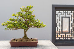 Chinese Boxwood Bonsai Royalty Free Stock Image
