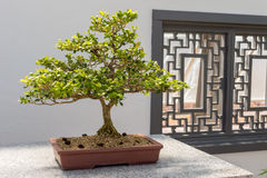 Chinese Boxwood Bonsai royalty free stock photography