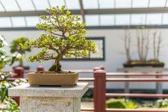 Chinese Boxwood Bonsai Stock Images