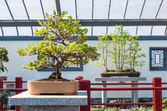 Chinese Boxwood Bonsai Royalty Free Stock Photo