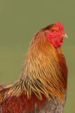 Chinese Brahma Cockerel. Brahma special breed cockerel with gold, red and black feathers against a green background Royalty Free Stock Photos