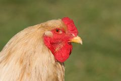 Chinese Brahma Cockerel royalty free stock photo