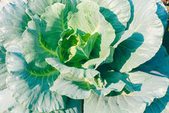 Chinese broccoli or Chinese kale in garden. Royalty Free Stock Image
