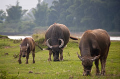 Chinese Buffalo Stock Images