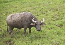 Chinese buffalo Royalty Free Stock Images