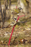 Chinese Bulbul Stock Images
