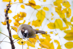 Chinese Bulbul eating Fruit Stock Photo