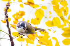 Chinese Bulbul eating Fruit. On maple with yellow background Stock Image