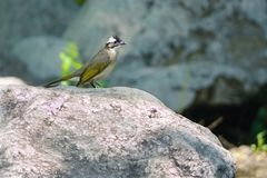 Light-vented Bulbul Stock Photos
