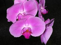 Chinese Butterfly Orchid. With large purple petals Royalty Free Stock Images