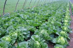 Free Chinese Cabbage Stock Photo - 22182630