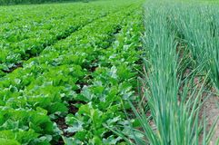 Chinese Cabbage And Green Chinese Onion Crops Stock Photo