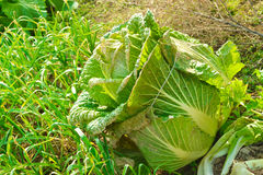 Chinese cabbage. Aparticularly large cabbage in the vegetable garden planted Royalty Free Stock Images