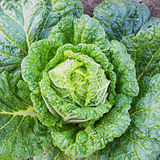 Chinese cabbage on a bed. Chinese cabbage closeup on a bed in the garden Royalty Free Stock Photos