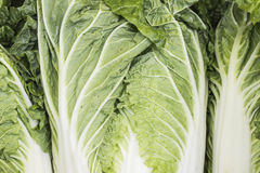 Chinese cabbage closeup. Green background of lush leaves Chinese cabbage stock image