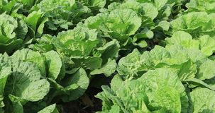 Chinese cabbage crops. Growing at field stock video footage