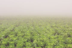 Chinese cabbage farm Royalty Free Stock Photos