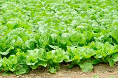 Chinese cabbage field Royalty Free Stock Photo