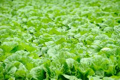 Chinese cabbage field Royalty Free Stock Images