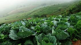 Chinese cabbage field at hill Stock Photos