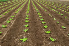 Chinese cabbage field. I planted Chinese cabbage seedlings Royalty Free Stock Photo