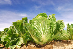 Chinese cabbage,green vegetable . Royalty Free Stock Photography