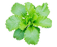 Chinese cabbage. Isolated on a white background Royalty Free Stock Images