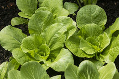 Chinese Cabbage in organic garden Stock Photo