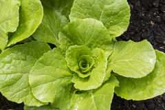 Chinese Cabbage in organic garden Stock Image