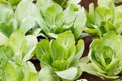 Chinese cabbage plantation Royalty Free Stock Image